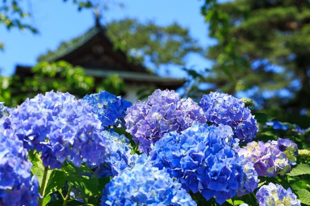 紫陽花の名所の見頃や開花時期は?