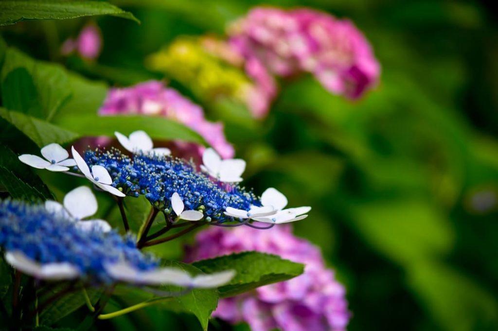 紫陽花の見頃や開花時期